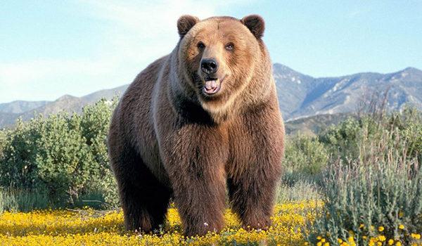какой размер члена у медведя