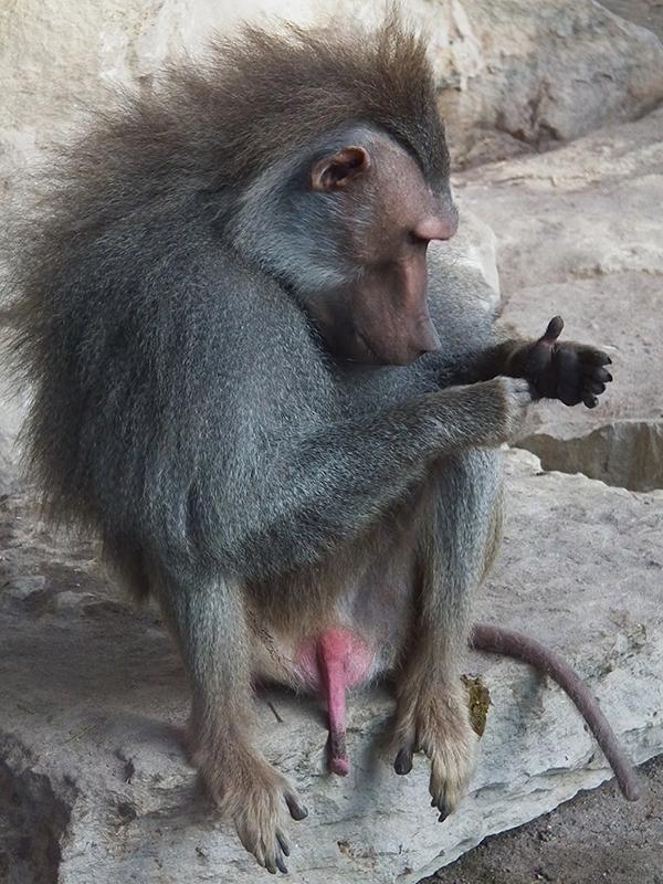 размер члена у гориллы
