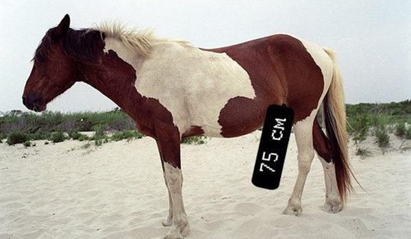 размер члена коня