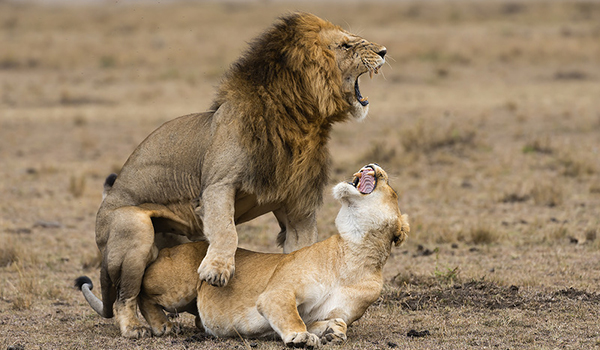 размер члена у льва